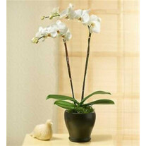 PHALEONOPSIS ORCHID PLAN IN POT WITH TWO STEMS